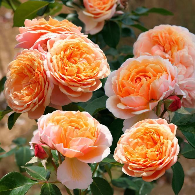 Rose Parfum d´Orleans®