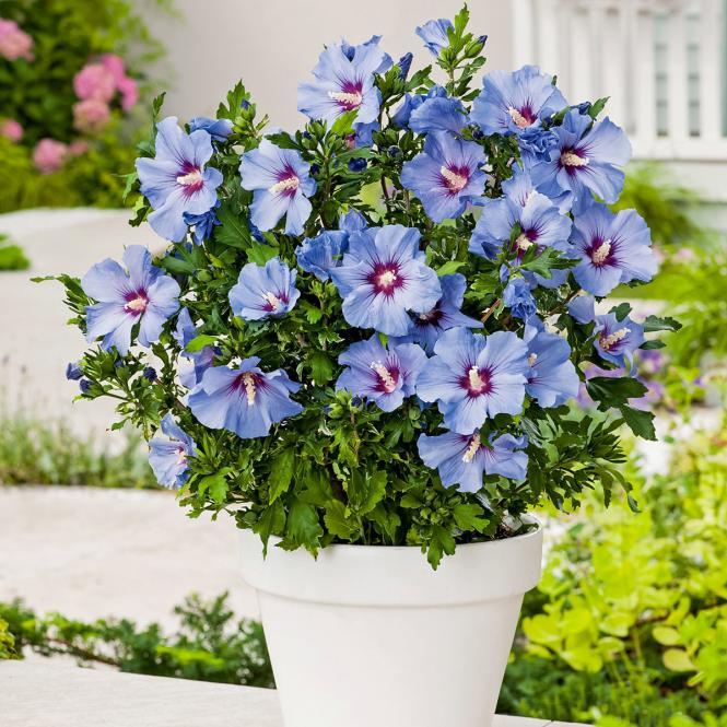 Garten-Hibiskus Marina,  im ca. 23 cm-Topf