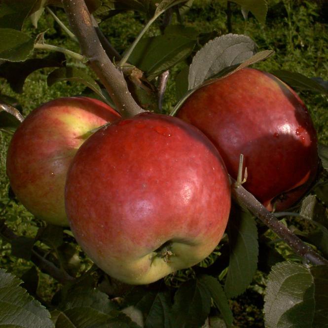 Apfel-Halbstamm Reglindis®, 2-jährig