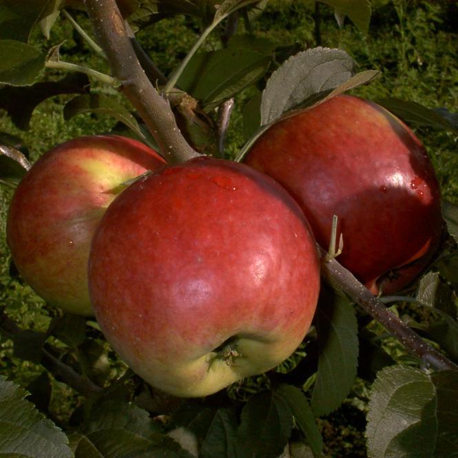 Apfel Reglindis, 2-jährig
