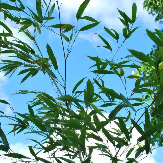 Grüner Bambus Bissetii, im 7,5-Liter-Topf