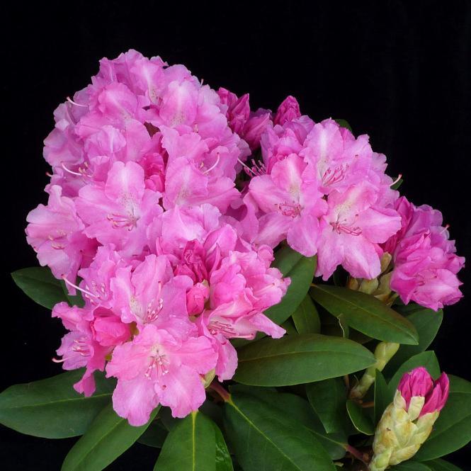 Rhododendron Lumina, im 2-Liter-Container