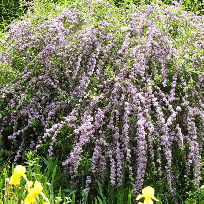 Hänge-Sommerflieder, Wasserfall-Schmetterlingsflieder  Buddleja alternifolia