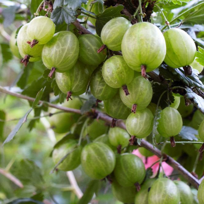 Grüne Stachelbeere Tatjana, Hochstamm