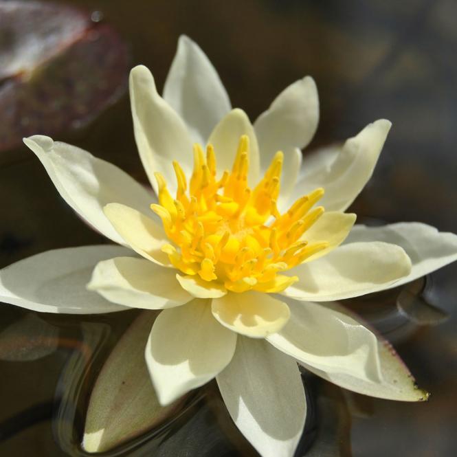 Gelbe Seerose