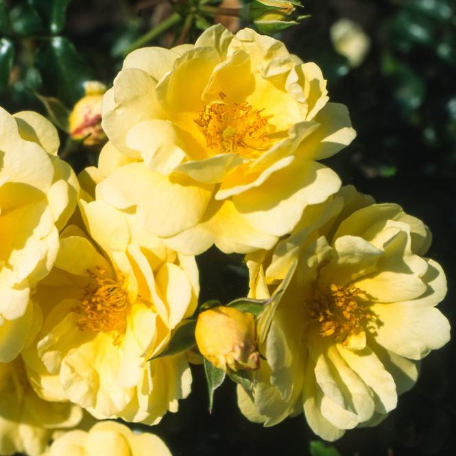 Rose Sunny Rose, im 4,5-Liter-Topf
