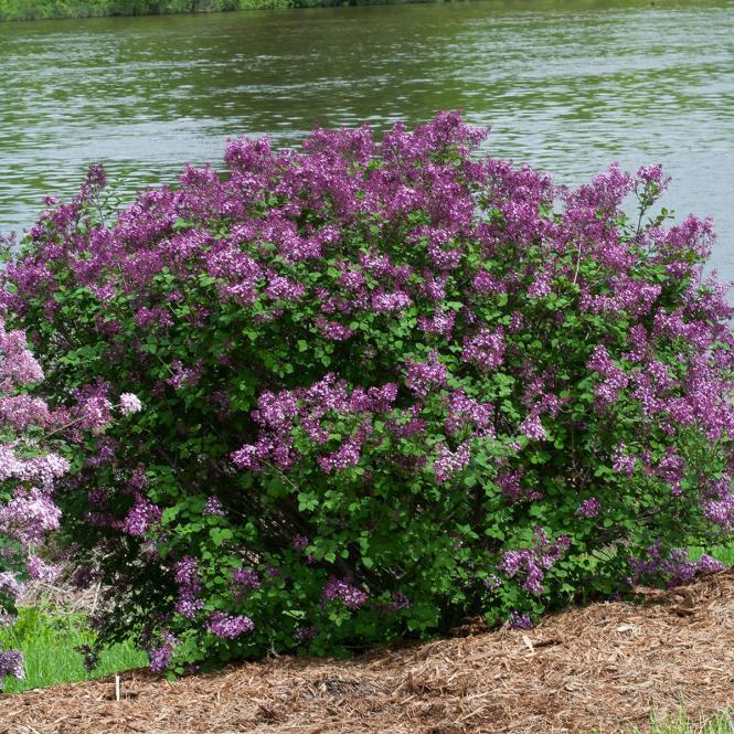 Bloomerang-Flieder 'Dark Purple'  Syringa-Hybride
