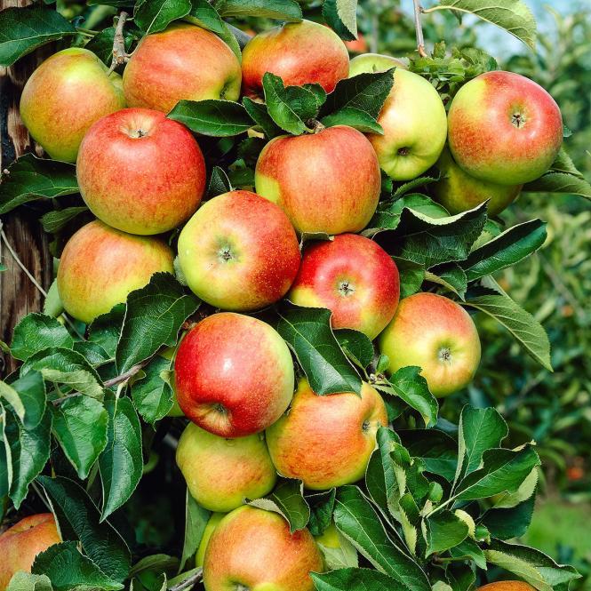 Apfel Jonagold, Basic