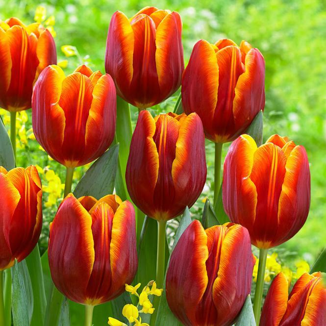 Tulpe Devenish