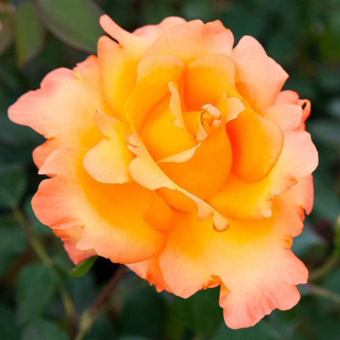 Rose Eureka®