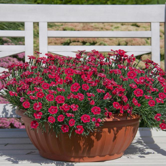 """Nelke, Kissen-Nelke, Bodendeckernelke""""Red Pillow"""" Dianthus cultivars"""