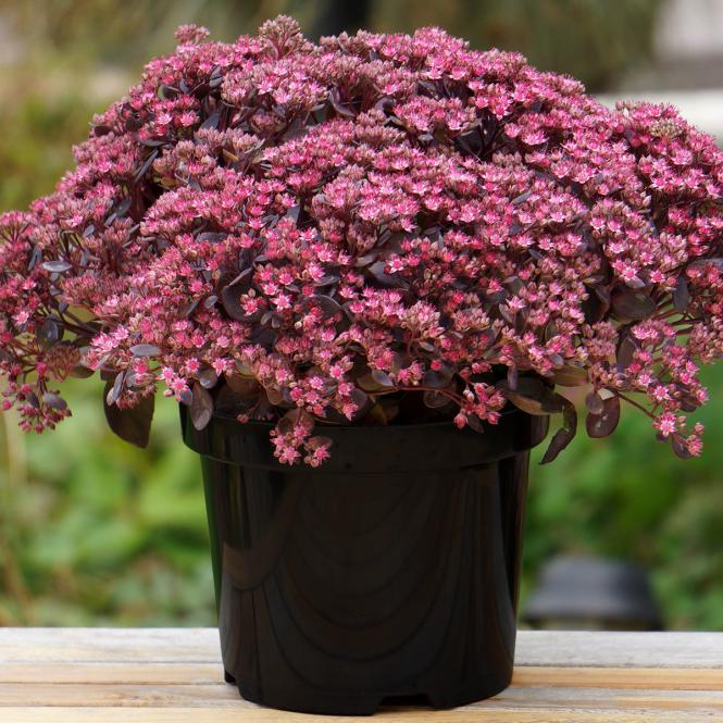 Polster-Fetthenne 'Sun Sparkler Dazzleberry ' Sedum-Hybride