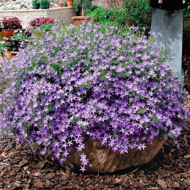 Polsterglockenblume Hirsch Blue, XL-Qualität