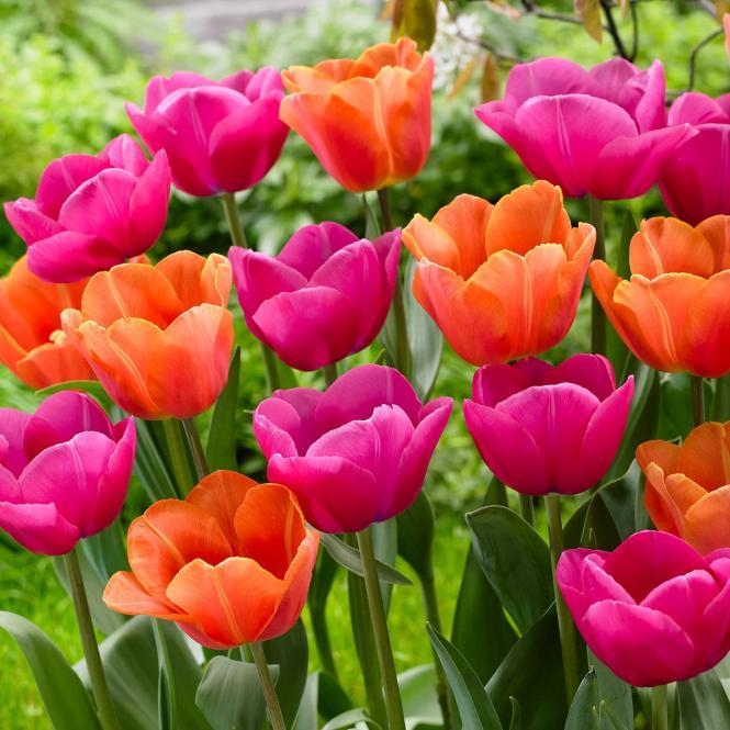 Tulpen-Mischung Paradiso