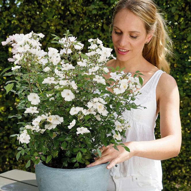 blumen verschicken phlox rose rosy boom wei xl qualit t. Black Bedroom Furniture Sets. Home Design Ideas