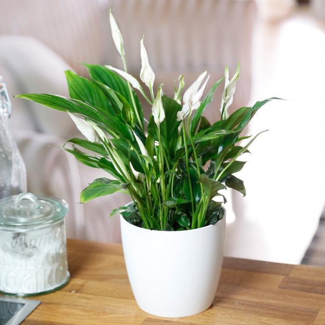 Zimmerpflanze Einblatt bei zum-blumenladen.de
