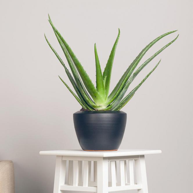 aloe vera pflanzen preisvergleich die besten angebote. Black Bedroom Furniture Sets. Home Design Ideas