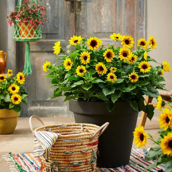 Solitär Sonnenblume SunBelievable™, im ca. 17 cm-Topf