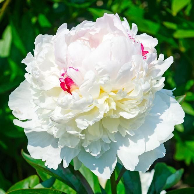 Pfingstrose 'Festiva Maxima'  Paeonia lactiflora