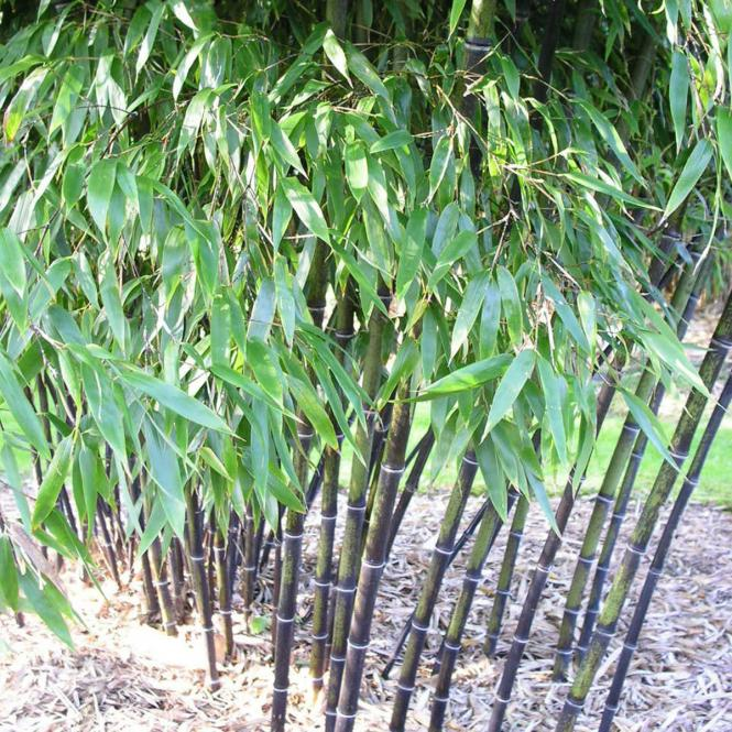 Schwarzer Bambus, im 10-Liter-Topf