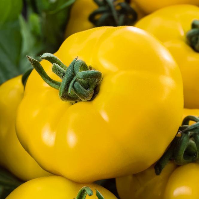 Tomatenpflanze Bolzano, gelb, veredelt, im ca. 12 cm-Topf