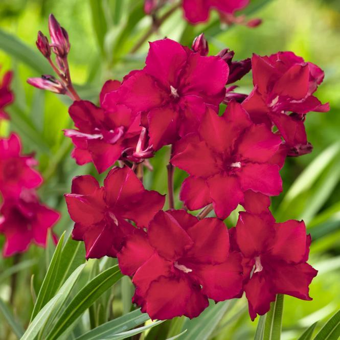 Oleander Busch, rot, im ca. 17 cm-Topf