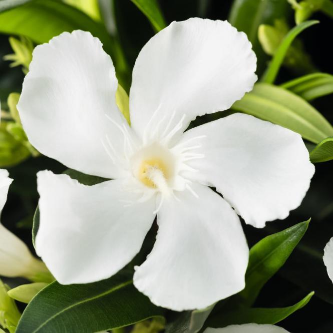 Oleander Busch, weiß, im ca. 20 cm-Topf