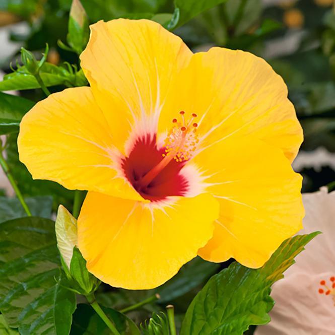 Orangegelber Hibiskus-Stamm, im ca. 19 cm-Topf