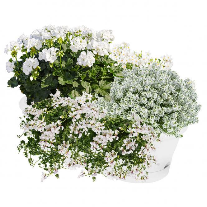 Weiße Sommerblumen Set Schneewittchen im Topf ca. 11/12 cm