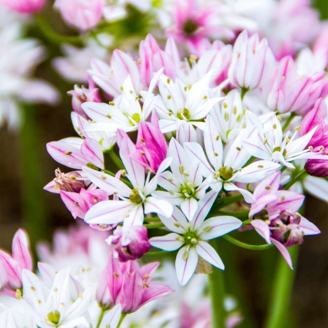 Zierlauch 'Camäleon' Allium trifoliatum