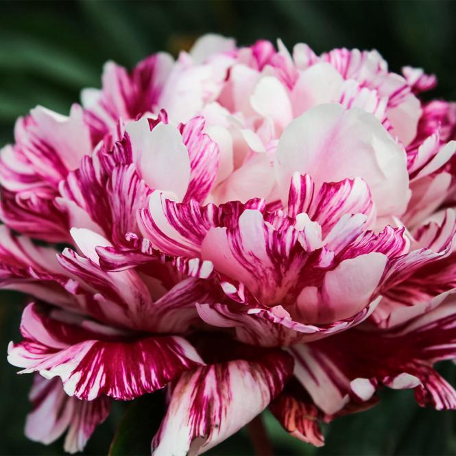 Pfingstrose 'Candy Stripe'  Paeonia lactiflora