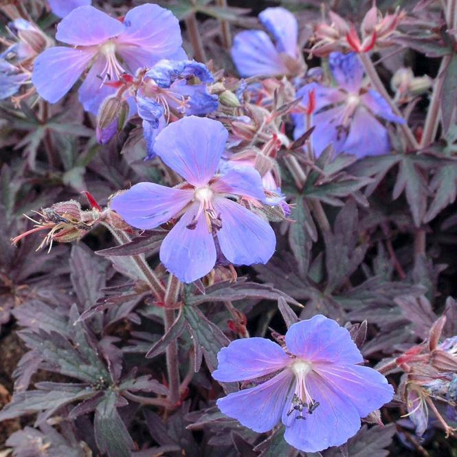 Storchschnabel 'Midnight Reiter' Geranium pratense