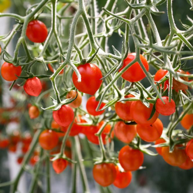 Tomatenpflanze Tomberry Red, veredelt, im ca. 12 cm-Topf