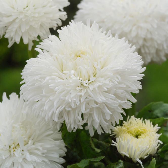 Gänseblümchen Tasso White, im ca. 13 cm-Topf