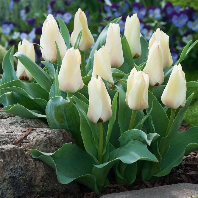 Weiße Balkon Tulpe, 3 Stück, im ca. 10,5 cm-Topf