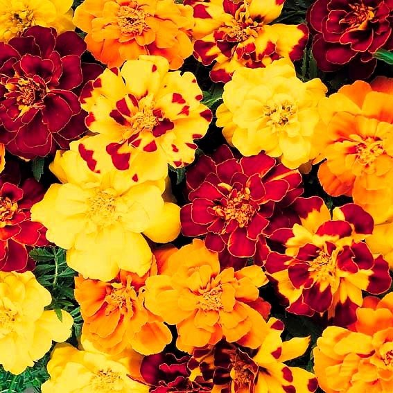 Tagetes Durango Outback-Mischung