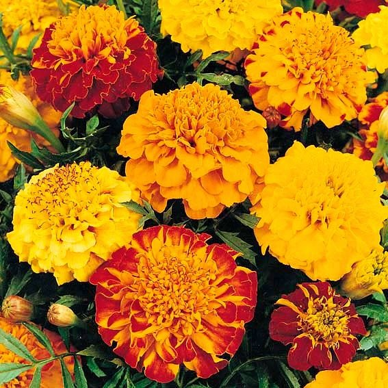 Tagetes Primo Mischung