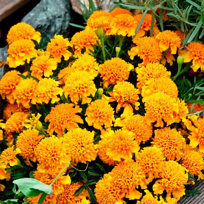 Tagetes Chasca