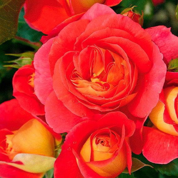 Rose Gebrüder Grimm®, im 3-Liter-Topf
