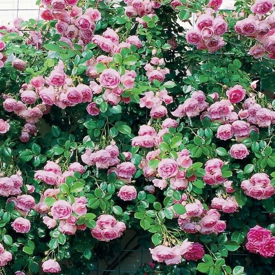 Rose Jasmina®