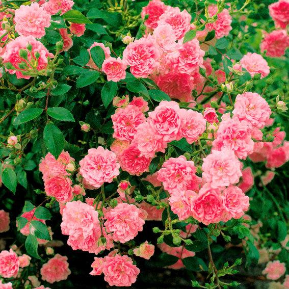 Bodendeckende Rose The Fairy, im ca. 17 cm-Einpflanz-Topf