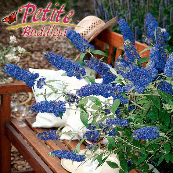 Zwerg-Sommerflieder, Zwerg-Schmetterlingsstrauch 'Petite Adonis Blue'   Buddleja davidii