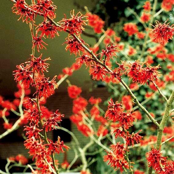 Zaubernuss 'Feuerzauber' Hamamelis intermedia