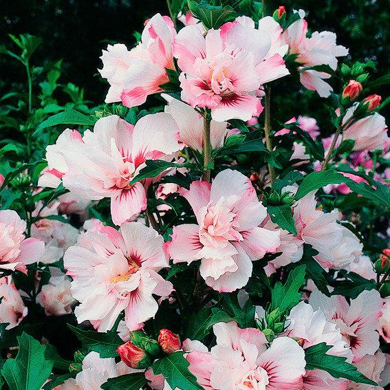 Garteneibisch 'Leopoldii' Hibiscus syriacus
