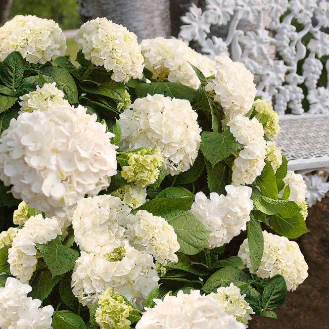 Hortensie 'Endless Summer - The Bride' Hydrangea macrophylla 'Endless Summer'