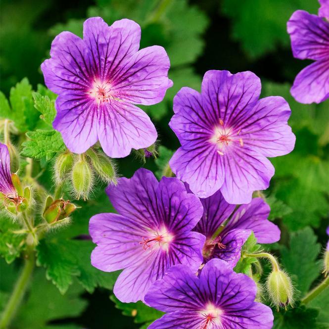 Storchschnabel 'Buxton's Variety' Geranium wallichianum