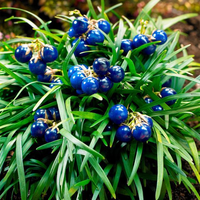 Blauperlgras Minor
