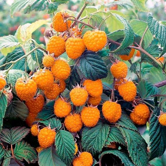 Honig-Himbeere Herbstgold