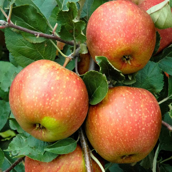 Apfel Roter Boskoop