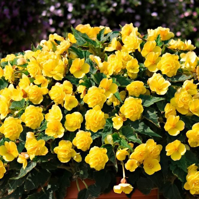 Zitronen-Begonie Beluga® Yellow